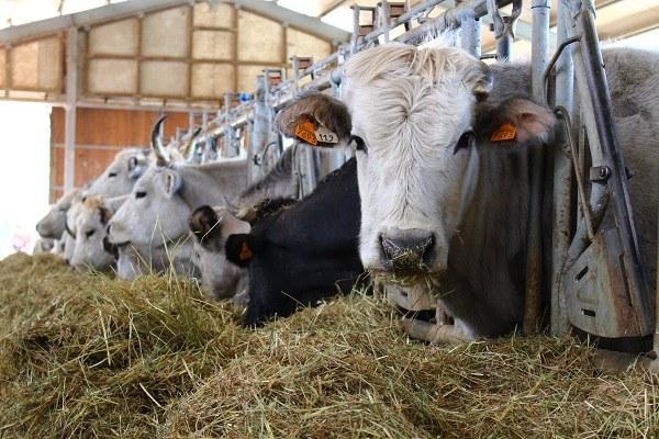 Rocca San Casciano (Fc): bovina di razza romagnola