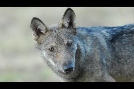 Monitoraggio nazionale del lupo